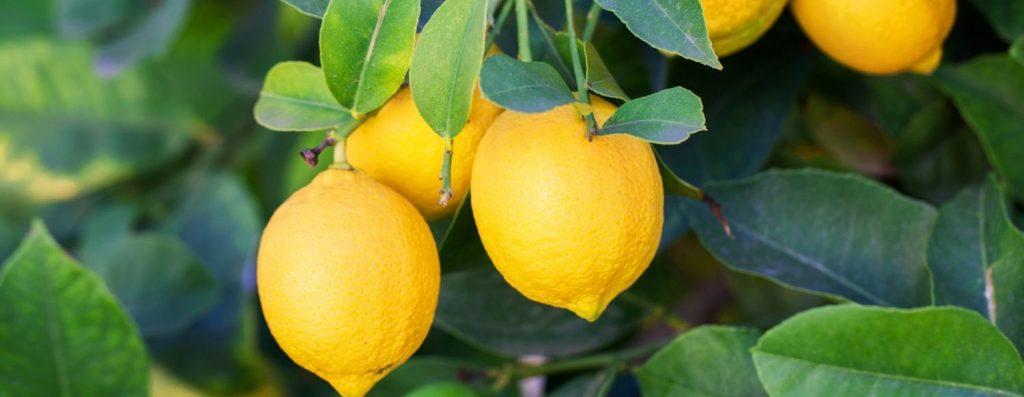 ripe-lemons-e1527890449608